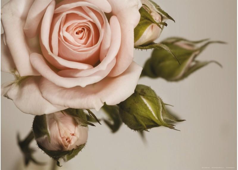 Retro růže, vliesová fototapeta do obývacího pokoje, ložnice, jídelny, kuchyně či chaty, AG Design, 160 x 110 cm, FTN M 2620