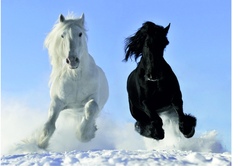 Běžící koně ve sněhu, AG Design, fototapeta ekologická vliesová do obývacího pokoje, ložnice, jídelny, kuchyně, lepidlo součástí balení, 160x110